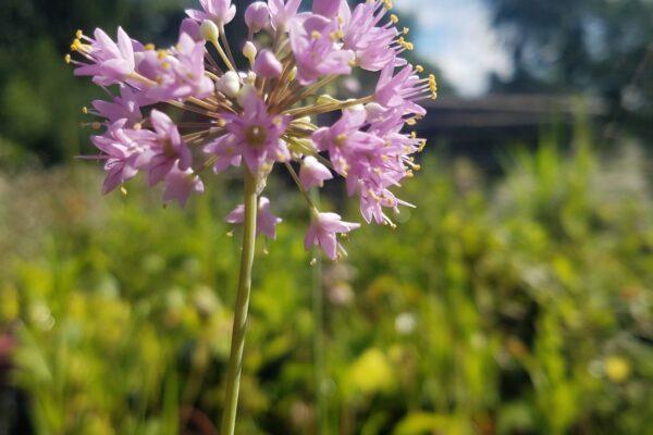 Prairie onion (Allium stellatum)